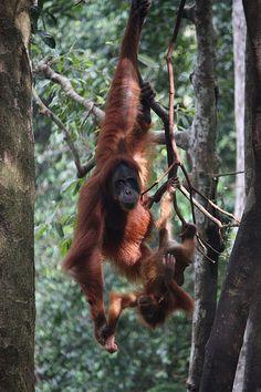 Trekking at Orang utan sanctuary (Bukit Lawang) in Gunung Leuser National Park