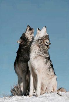Los lobos viven en manada y no sobreviven sin ella.