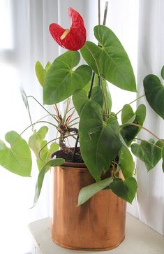 Anthurium Anthurio can be propagated by taking stems cuttings with at least two joints. Cuttings can be then rooted in pots of sand and peat moss mixtures. During the rooting process they should be kept out of direct sunlight. Once rooted the plants can be transplanted to larger pots or directly outside in milder climates. A second way to propagate Anthurium is to take stem cuttings particularly from trailing varieties and place them in water.
