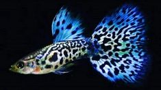 Aquarium Care for the Freshwater Guppy Guppies are maybe the most popular type of freshwater fish to keep in a fish tank. Guppies are sturdy fish that can Tropical Freshwater Fish, Freshwater Aquarium Fish, Tropical Fish, Pretty Fish, Beautiful Fish, Guppy, Aquarium Pictures, Aquarium Ideas, Aquariums
