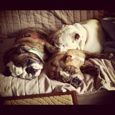 after seeing these adorable pictures.im really thinking about getting a bulldog in my future. Dog Love, Puppy Love, Bulldog Quotes, Bulldog Rescue, Adorable Pictures, My Big Love, Animal Projects, English Bulldogs, My Dear Friend