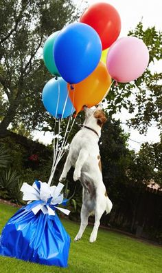 The fastest time to pop 100 balloons: Jack Russell Terrier, Anastasia ...