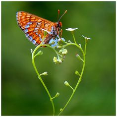 forget-me-not with butterfly