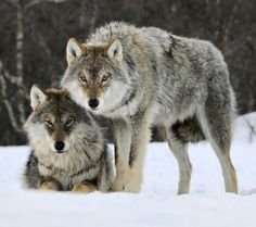 Wolf U, Wolf  Me, Wolf it together, naturally... :) ss
