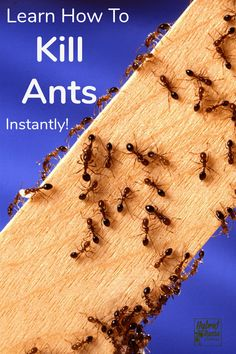 Do you have ants in your home & garden area? Here's how to get rid of ants fast! Also learn how to prevent ants with these 9 natural, cost effective products. Ants In Garden, Garden Pests, Kitchen Ants, Homemade Ant Killer, Ant Problem, Get Rid Of Ants, Best Pest Control, Bees And Wasps, Humming Bird Feeders