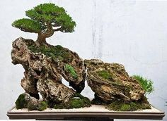 small Black Pine banzai with sloping rock gradient, ? bonsai shrubs and stones landscape.