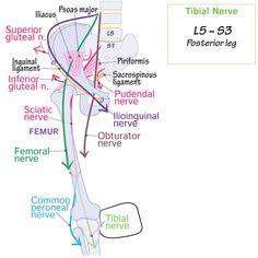 Pelvis Anatomy, Nerve Anatomy, Human Body Anatomy, Muscle Anatomy, Anatomy Study, Anatomy And Physiology, Medicine Notes, Gross Anatomy, Medical Careers
