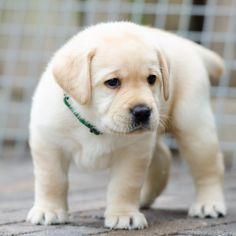 Golden Retriever Discover looking @ me ? by Harold on Baby Animals Super Cute, Cute Baby Dogs, Cute Little Animals, Cute Lab Puppies, Cute Little Puppies, Perro Labrador Retriever, Labrador Puppies, Retriever Puppies, Corgi Puppies