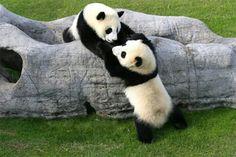 Panda twins Ai Hin and Mei Hin love playing together at the Chengdu Pambassador program. ~~Pull, not push! So dang adorable! Panda Love, Cute Panda, Panda Panda, Big Panda, Cute Baby Animals, Animals And Pets, Wild Animals, Animal Pictures, Cute Pictures
