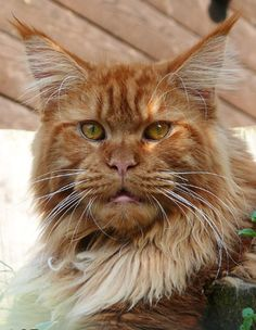 European Maine Coon Cat - Germany. Awesome European Maine Coon, red solid (d). Beartooth Mountain Red Adair. http://www.beartoothmountain.de/startseite.htm http://www.mainecoonguide.com/what-is-the-average-maine-coon-lifespan/