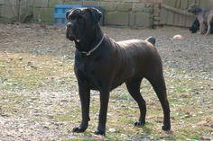 black Boerboel