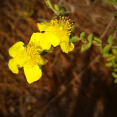 """St. John's wort.... let it grow if you find it as a """"weed"""" and it will reward you with yellow cheer! Tough Florida native plant."""