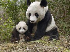 Pandas!!!!