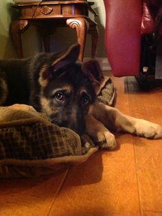 Havoc, my German Shepherd Puppy