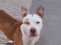 """♦ KILLED 3-30-2016 ♦ TO BE KILLED – LOYAL, FRIENDLY, AFFECTIONATE & PLAYFUL NENA ☆ RESCUE ONLY ☆ OWNER sur. – Reason LLORDPRIVA ☆ 7-year-old female American pit bull ter. in Brooklyn Center ♥ Around strangers NENA (A1068259) is friendly and she has lived with children. """"With me, she was very sweet, easy to handle, seemed housebroken. She would constantly come over to me for petting and place her head in my lap."""" ♥ http://nycdogs.urgentpodr.org/nena-a1068259/"""