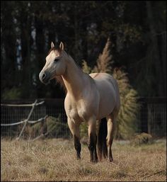Quarter Horse Stallion at Stud in North Carolina - A Spark of Sunshine