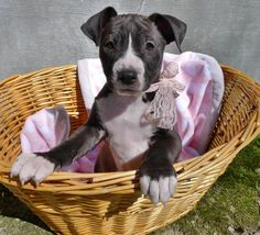 Meet Bitty, an adoptable Pit Bull Terrier looking for a forever home. If you're looking for a new pet to adopt or want information on how to get involved with adoptable pets, Petfinder.com is a great resource.