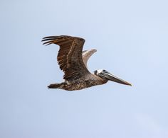 Pelican Flying by Bubba  on 500px