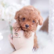 Toy and Tiny Teacup Poodle puppies available in our boutique store. Your Micro Teacup Poodle puppy is conveniently small and cute. Find your tiny Poodle today! Teacup Pomeranian Full Grown, Micro Teacup Poodle, Teacup Poodle Puppies, Tiny Toy Poodle, White Pomeranian Puppies, Poodle Puppies For Sale, Teacup Puppies For Sale, Tea Cup Poodle, Yorkie Dogs