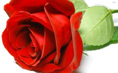 Earth - Rose  - Flower Wallpaper