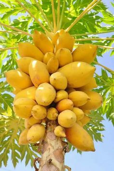 50 Pcs Bonsai Papaya Plants Rare Jardin Heirloom Organic Vegetable Fruit Landscape Plant Frutas Healthy Food For Garden Gift Fruit And Veg, Fruits And Vegetables, Fresh Fruit, Fruit Trees, Trees To Plant, Planting Succulents, Planting Flowers, Papaya Tree, Beautiful Fruits