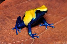 »✿❤Love Frogs!❤✿« poison tree dart frog