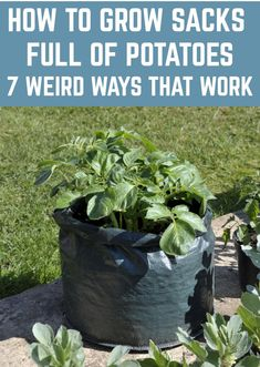 growing potatoes Strangely, potatoes often seem to get overlooked when it comes to growing a vegetable garden. Apparently, some are under the impression that there's really no reason Grow Potatoes In Container, Planting Potatoes, Container Gardening Vegetables, Vegetable Gardening, Potato Gardening, Garden Container, Veggie Gardens, Organic Horticulture, Organic Gardening