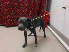 12/19/15-HOUSTON - -EXTREMELY HIGH KILL FACILITY -SUPER URGENT - RESCUE ONLY - MIRACLE NEEDED!!!   BRUNO - ID#A449455  My name is BRUNO  I am a male, gray and white Pit Bull Terrier mix.  The shelter staff think I am about 1 year old.  I have been at the shelter since Dec 18, 2015.  This information was refreshed 41 minutes ago and may not represent all of the animals at the Harris County Public Health and Environmental Services.