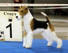 Perro Fox Terrier, Fox Terriers, Wire Fox Terrier, Dog Stuff, Jun, Fur Babies, Pet Dogs, Dog Breeds, Champion