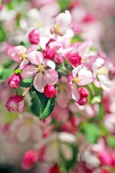 Fantastic cascades of crabapple blossoms fill the air each year outside Toronto's Osgoode Hall (photo: Dave Melnychuk)
