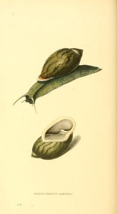v. 3 - Zoological illustrations, or, Original figures and descriptions of new, rare, or interesting animals, selected chiefly from the classes of ornithology, entomology, and conchology, and arranged according to their apparent affinities. - Biodiversity Heritage Library