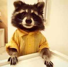 I have no clue how to explain it but Raccoon! They are such cute animals too, I want one as a pet! I would name him after a character I have called Ranky Raccoon. Animals And Pets, Baby Animals, Funny Animals, Cute Animals, Strange Animals, Baby Pandas, Red Pandas, Animal Pictures, Cute Pictures