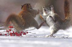 E' festa anche per gli scoiattoli.C'è chi mangia dolci e chi sembra tenere sotto controllo la dieta con le bacche. Piccoli doni per tutti mentre nell'intera regione si registra uno degli inverni più duri degli ultimi anni a causa dell'improvvisa ondata di freddo. Ma di certo si diverto