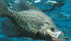 Ultimate guide on how to catch crappie including great fishing tips on the best lures and bait, the right equipment, and techniques for catching crappie. Crappie Lures, Crappie Fishing Tips, Fishing Guide, Carp Fishing, Trout Fishing, Saltwater Fishing, Fishing Tricks, Kayak Fishing, Crappie Jigs