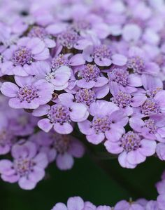 garden plants ; Achillea millefolium 'Lilac Beauty'