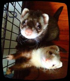 simple & easy trick to clean a ferret cage