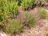 Lavander- dampness kills it,dry and hot full sun,tight containers place 1 inch loose stone in bottom of soil.