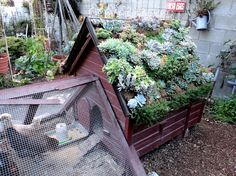 Mixed succulent green roof planting on chicken coop, belonging to @TheresaLoe of Growing a Greener World TV show. @Sharon Avey HQ
