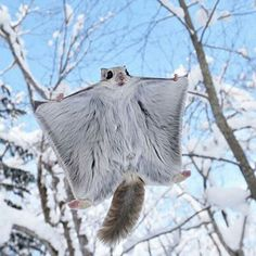 Flying squirrel, photo by Masatsugu Ohashi