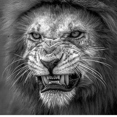 Don't mess with the fierce Lion Wildlife Photography, Animal Photography, Photography Ideas, Regard Animal, Animals And Pets, Cute Animals, Lion And Lioness, Fierce Lion, Lion Love