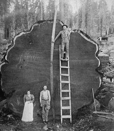 © BECKWITH, N. Loggers and the giant Mark Twain redwood cut down in Christie's Boundless: 125 Years of National Geographic Photography. Celebrating 125 Years of National Geographic Photography Vintage Pictures, Old Pictures, Old Photos, Daily Pictures, Antique Photos, National Geographic, Giant Tree, Big Tree, Bild Tattoos