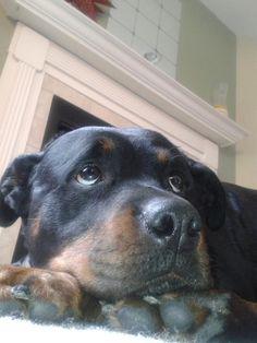 #rottweiler #dogs