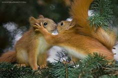 All sizes | Kissing Squirrels | Flickr - Photo Sharing!