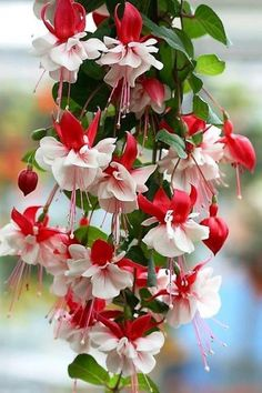 Fuchsia Flowers Garden Love