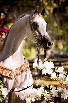 Rohara Aria Spartan   Arabian stallion