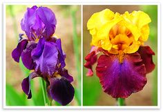 If you don't have irises, like I mentioned before, they're pretty easy to grow. Iris is a hearty plant that likes full to partial sun, in well drained soil.