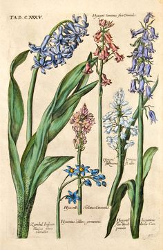The Antiquarium - Antique Print & Map Gallery - Michael Valentini - Narcissus albus Hand-colored copperplate engraving Vintage Botanical Prints, Botanical Drawings, Antique Prints, Nature Illustration, Botanical Illustration, Botanical Flowers, Botanical Art, Photo Wall Collage, Collage Art