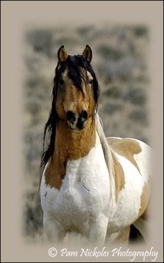 "Wild tri-coloured mustang stallion  - read El Mariachi's story ""Rescuing an American Icon"""