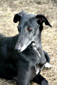 Perla, the 7year old Spanish rescue Galgo, living in Finland