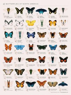 """Eleanor Lutz - """"I checked out six butterfly field guides from the library and picked out some of the species I thought were the most unique and beautiful. It's meant as a chart of decorative species illustrations rather than an educational infographic. Borboleta Tattoo, Butterfly Species, Butterfly Gif, Monarch Butterfly Tattoo, Unique Butterfly Tattoos, Butterfly Symbolism, Butterfly Exhibit, Butterfly Project, Rainbow Butterfly"""